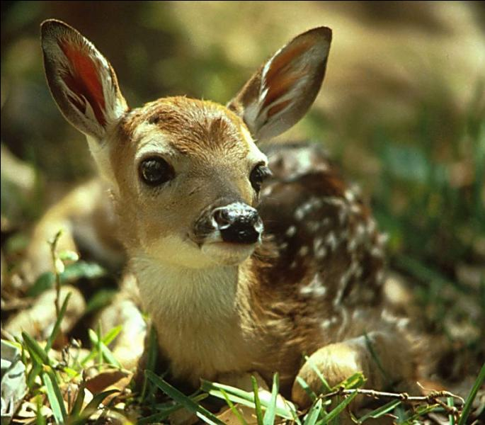 Comment s'appelle le petit de la biche et du cerf ?