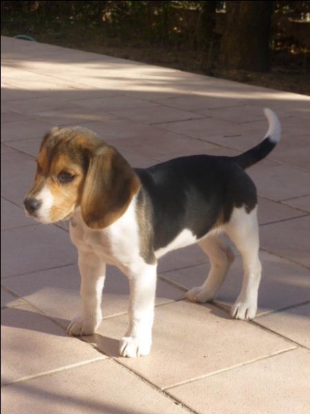 Comment s'appelle le petit du chien et de la chienne ?