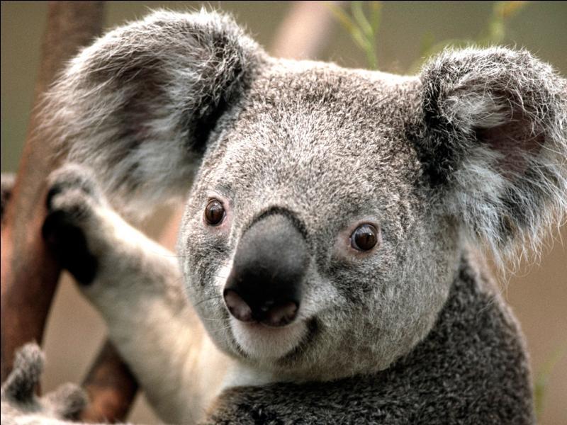 Comment s'appelle le petit du koala ?