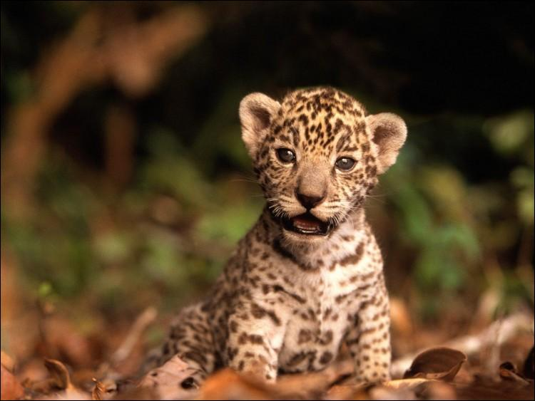 Plus tard, il sera capable de s'attaquer à un tapir, trouvez le continent où il vit !