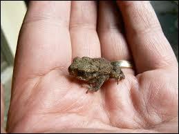 Le petit du crapaud, comment l'appelle-t-on ?