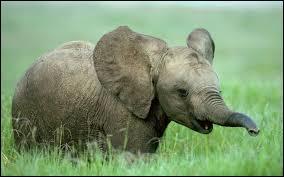Comment appelle-t-on le petit mis au monde par l'éléphante ?