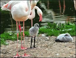 Comment les petits du flamant rose sont-ils communément appelés ?