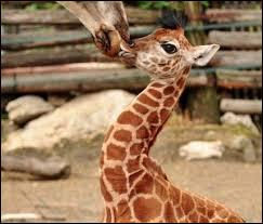 Lequel de ces termes ne désigne pas le petit de la girafe ?