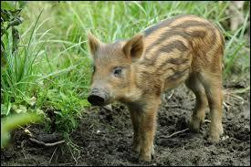 De quel animal le marcassin est-il le petit ?
