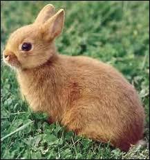 Le petit du lapin est le :