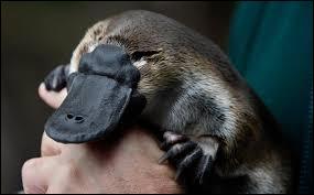 Le petit de l'ornithorynque a-t-il un nom différent de celui de son père ?