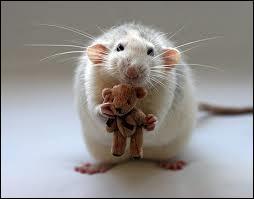 De quel animal le raton est-il le petit ?