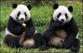 Comment dit-on  panda  en espagnol ?
