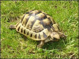 Comment dit-on  tortue  en espagnol ?