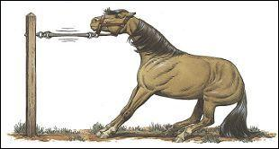 Cela veut dire quoi quand un cheval tire au renard ?