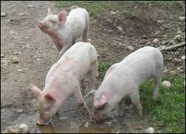 Le tour de cochon traduit ---------.