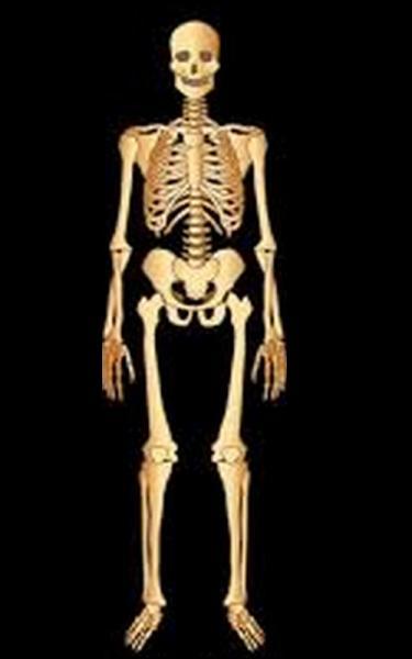 Combien y a-t-il d'os dans un corps humain ?