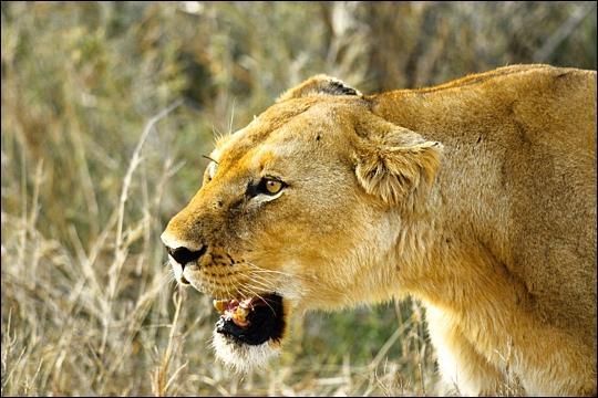 Lorsqu'une lionne a les oreilles en arrière, cela signifie :