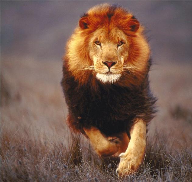 Le lion fait partie de la famille des :
