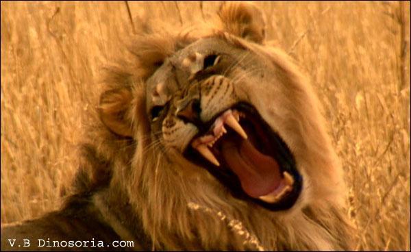 Sur quels continents vivent les lions et lionnes ?