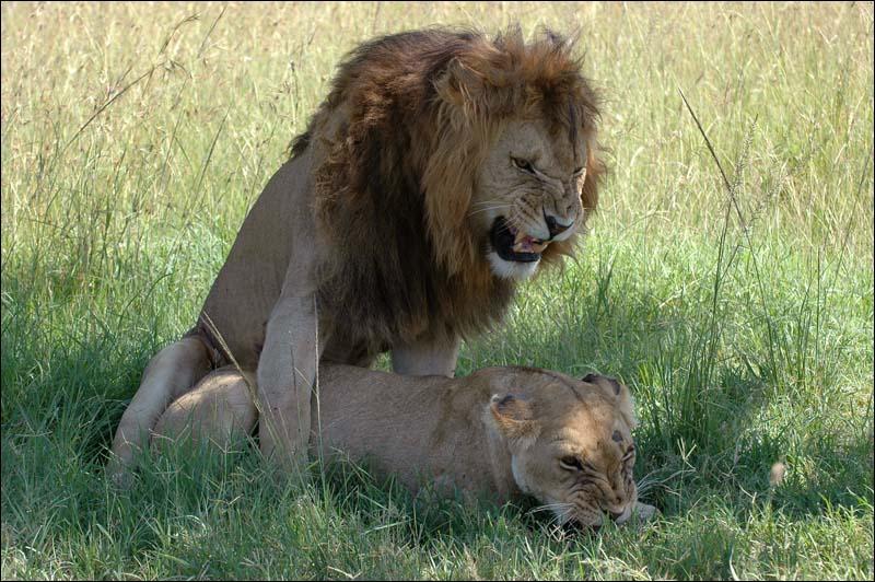 À quel âge les lions atteignent-ils leur maturité sexuelle ?