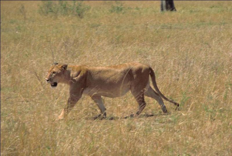 Quel est le record de longévité atteint par un lion ?