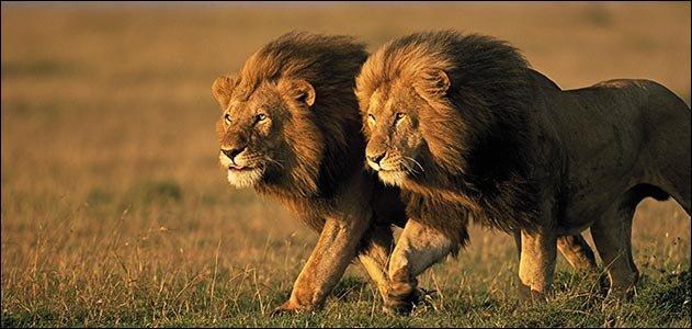 Les lions sont les seuls fauves à vivre en troupe.
