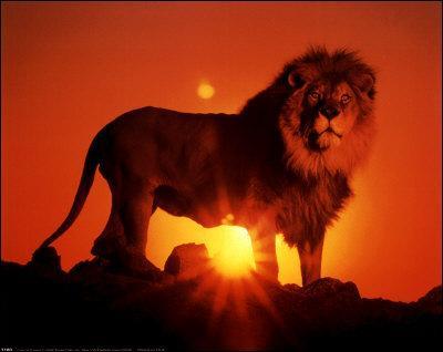 Les lions sont des animaux :