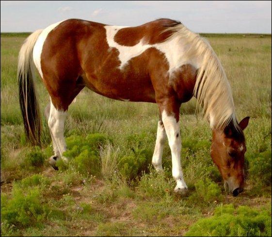 Ce cheval est pi baie. Vrai ou faux ?