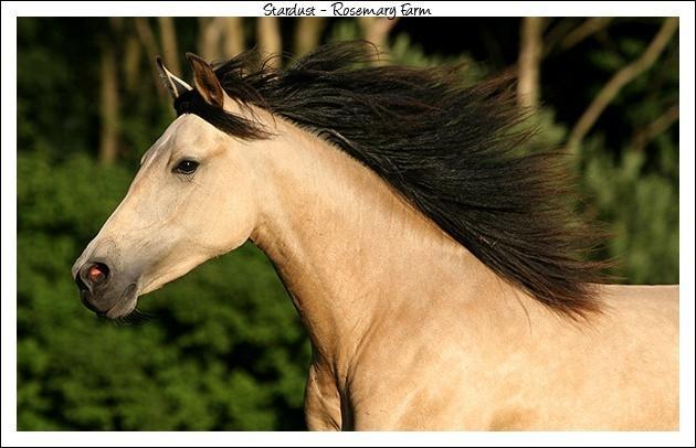 Ce cheval au galop est isabel. Vrai ou faux ?