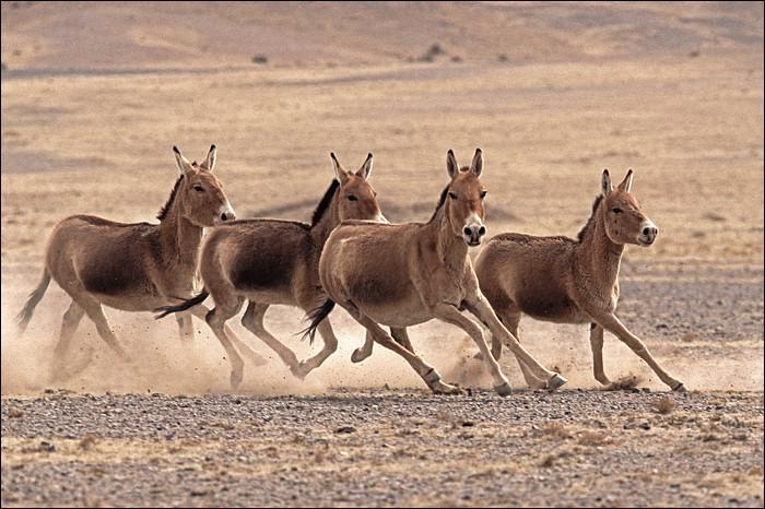 Arrivent ensuite ces ânes sauvages du Tibet. Leur rapidité étonnante est évoquée par le piano. Ce sont les... !
