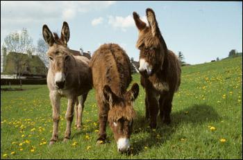 Les violons font entendre les braiements des ânes. Dans cet épisode, ces animaux sont appelés... !