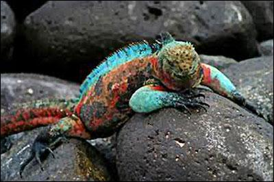 Un pays : iguane marin, Charles Darwin, Galapagos !