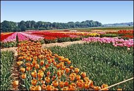 Le pays d'origine des tulipes est la Hollande.