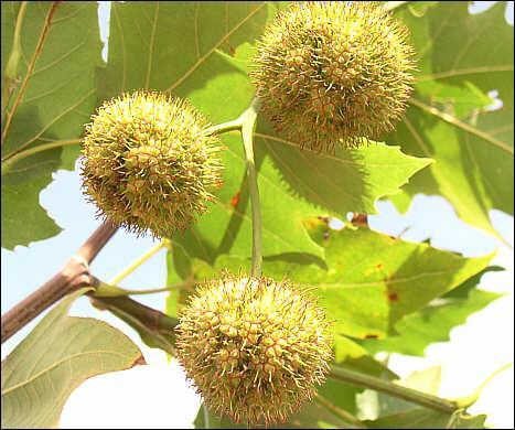 De quel arbre proviennent ces fruits ?
