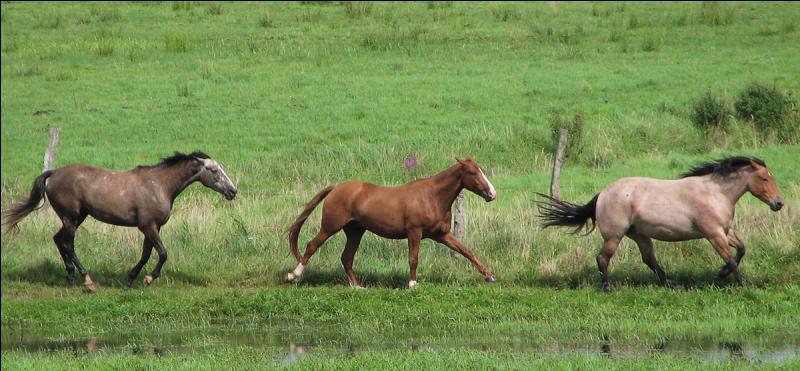 Ces chevaux sont au ...