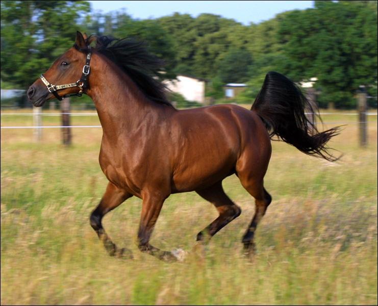 Ce cheval est un ...