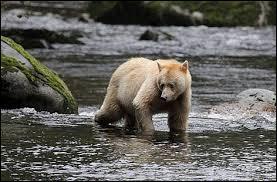Quelle est la race de cet ours ?