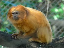 Quelle est cet espèce de singe ?