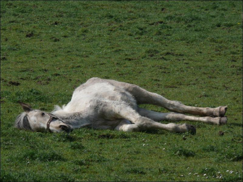 Lors de la phase de sommeil paradoxal, le cheval est entièrement couché. Que se passe-t-il lors de cette phase de sommeil ?