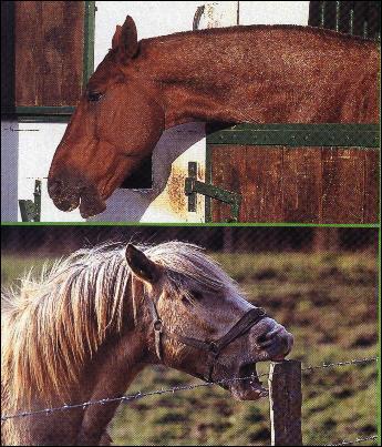 Lorsqu'un cheval s'ennuie, il peut....
