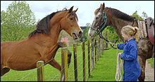 Lorsqu'un cheval fait un hennissement court et aigu, cela signifie...