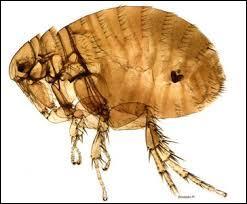 Par la piqûre de quel insecte le microbe est-il transmis à l'homme ?