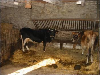 Où dorment les vaches ?