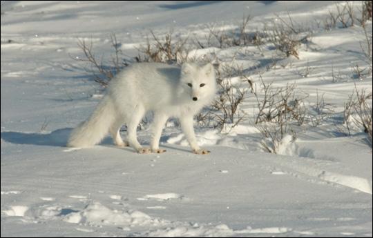 Quel est cet animal qui prend une fourrure blanche en hiver ?