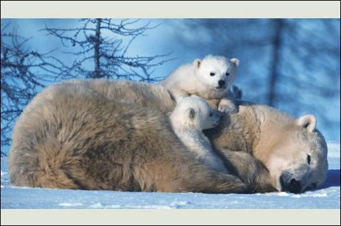 Que fait l'ours en hiver ?
