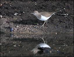 Cet oiseau blanc et marron est...