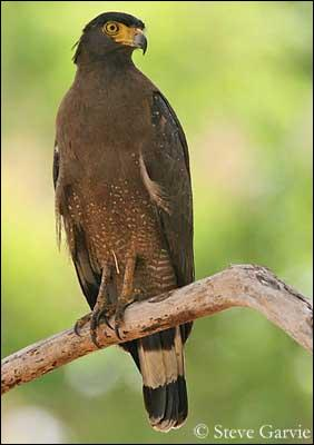 Ce rapace est brun et ses ailes sont noires. Imaginons un cheval marron avec les crins et les extrémités noirs, il serait de robe...