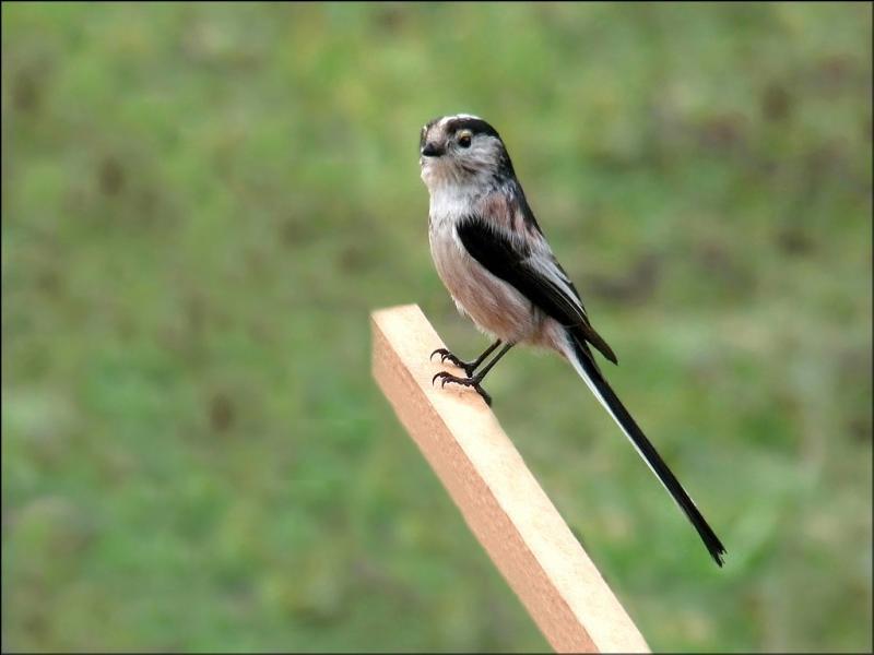 Cette mésange à longue queue est beige avec les extrémités noires. Si seulement elle avait des crins ! Il suffirait qu'ils soient noirs pour que ce petit oiseau soit...