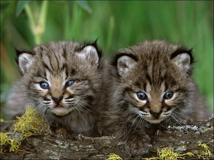 Si vous avez une vue perçante, vous trouverez sûrement l'espèce correspondante à ces jeunes félins !