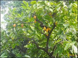 Comment s'appelle l'arbre sur lequel poussent les fèves de cacao ?