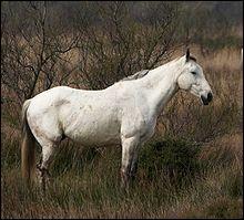 Un cheval de Camargue mesure.....