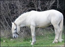 Quelle est la robe des chevaux de Camargue ?