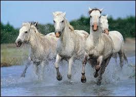 Le cheval de Camargue est-il un cheval de trait léger ?